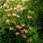 Pacific Rhododendron Plant