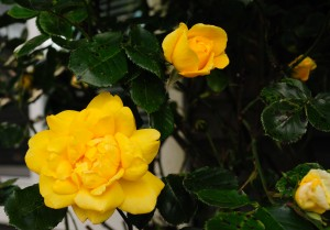 Yellow Rose_DSC6873