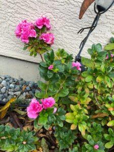#113 A - EvergreenAzalea-blooms